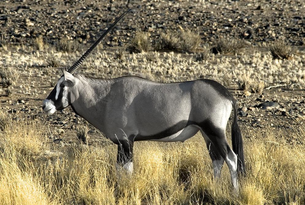 oryx gacela. animal africa