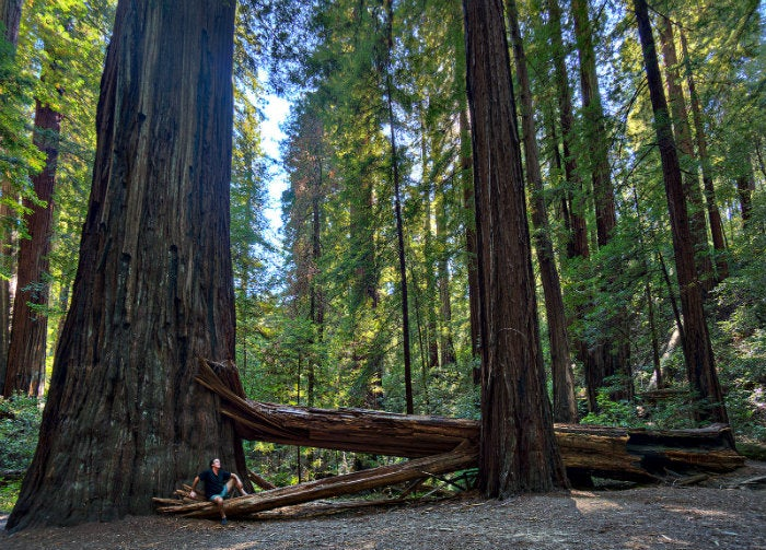 redwoods_