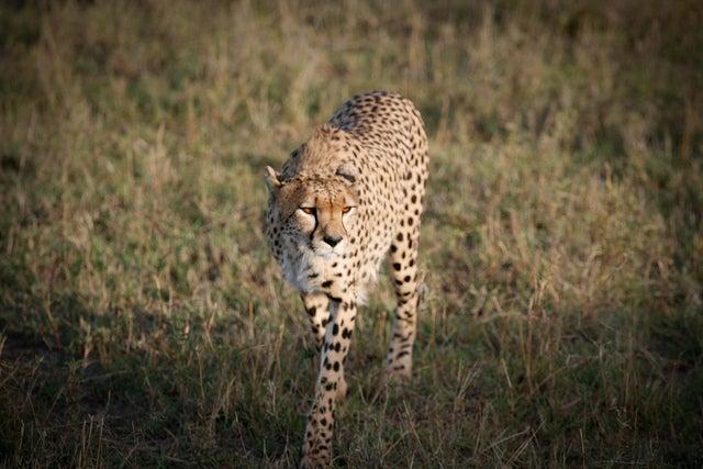 guepardo en africa