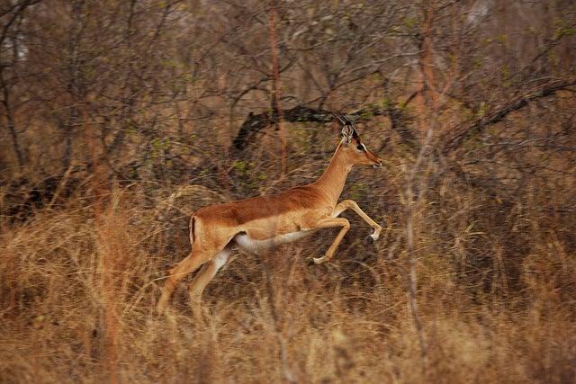 impala en africa