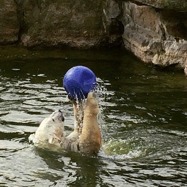 oso polar jugando en el agua en el zoo de berlin