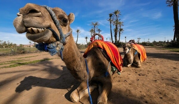 camello. Foto de pinterest