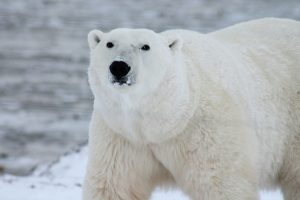 Oso polar, zoo de Ranua, Laponia