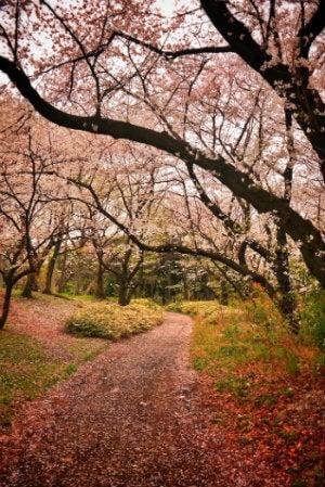 cerejeiras em flor yoyogi park tokio