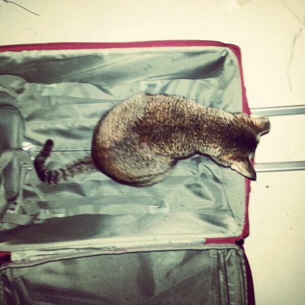 gato maleta