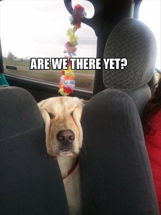 perro coche cansado