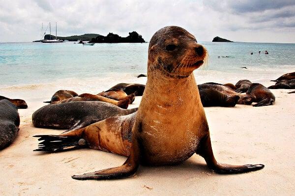 león marino en las islas galapagos