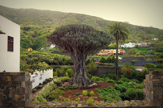 11 cosas que visitar en Tenerife. drago de icod de los vinos