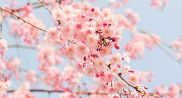 """Japón en flor: dónde y cuándo ver los cerezos durante el """"Hanami"""""""