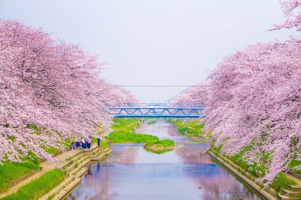 Japon Con Los Cerezos En Flor Guia Para Celebrar El Hanami