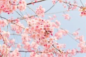 """Japón en flor: dónde y cuándo ver los cerezos durante el """"Hanami"""". Cerezos"""