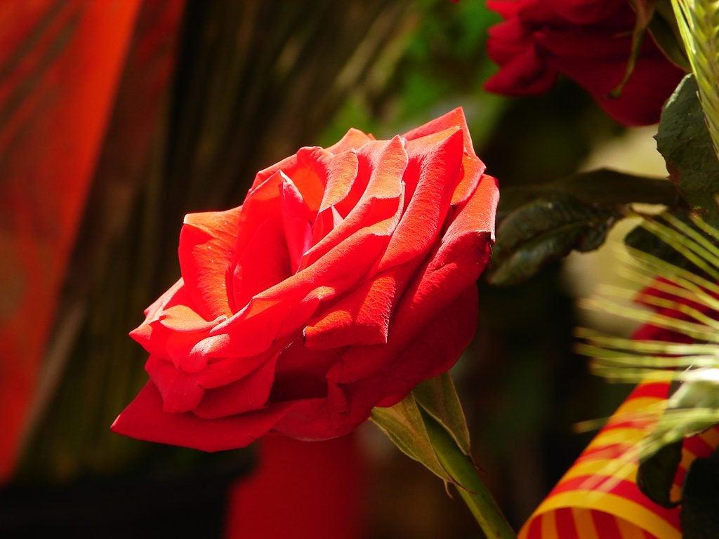 Sant Jordi en Cataluña. Rosas