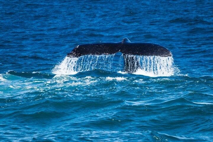 Una cola de ballena emerge del mar en Sídney Australia