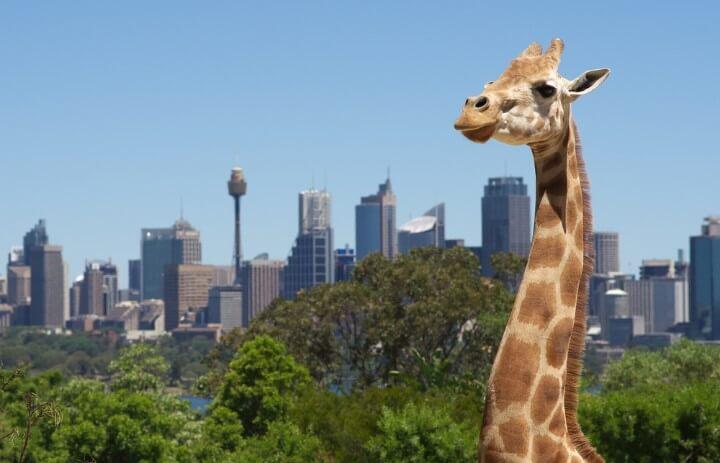 Jirafa en el zoo de Taronga con la ciudad de Sídney de fondo