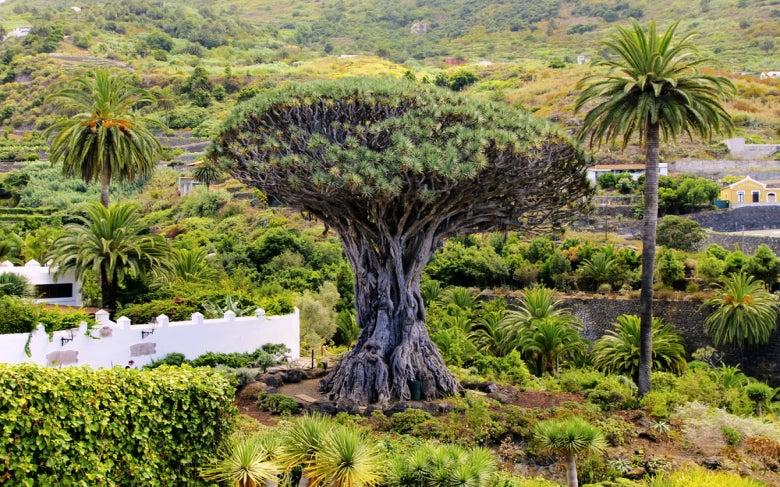 Emblemático drago de Icod de los Vinos, Tenerife