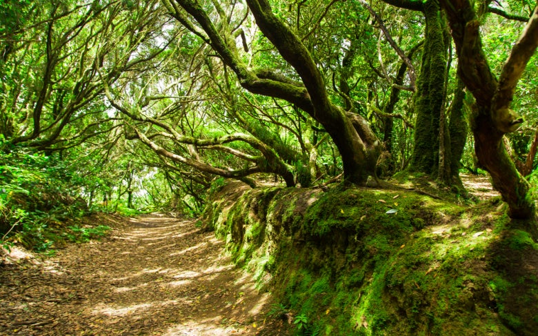 Bosque de laurisilva en el parque rural de Anaga en Tenerife