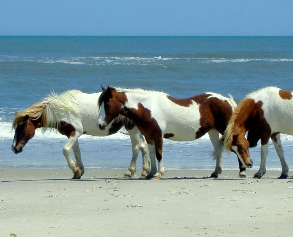 Ponies in Assateague Island - Maryland