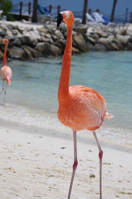 6 Playas con animales increíbles . Playa de los flamencos Aruba. Flamenco
