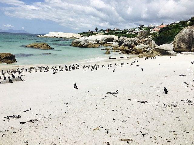 6 Playas con animales increíbles. Boulder beach. playa de los pingüinos