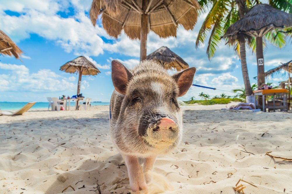 Playa de los cerdos: Bahamas