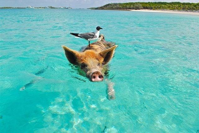 6 Playas con animales increíbles. Playa de los cerdos Bahamas. Cerdos nadadores