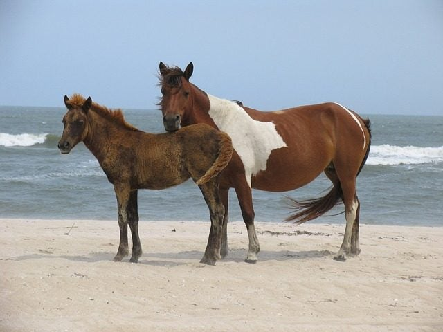 Ponies in Assateague Island