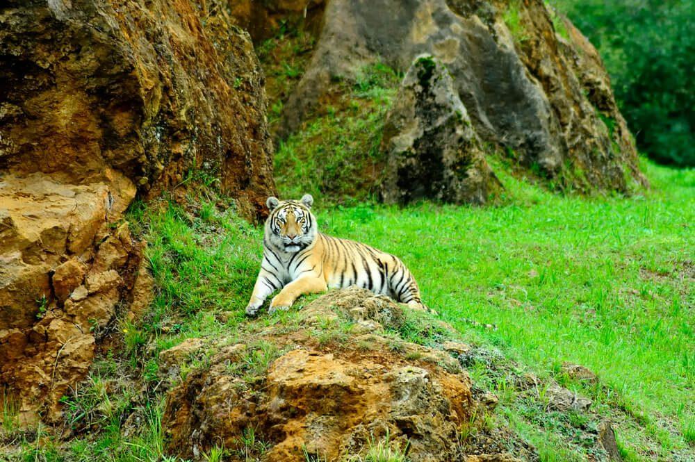 Tigre tumbado en roca en el Parque Natural de Cabárceno, Cantabria
