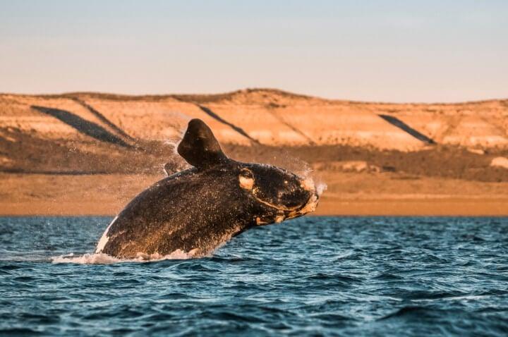 Ballena franca austral salta del agua en Península Valdés