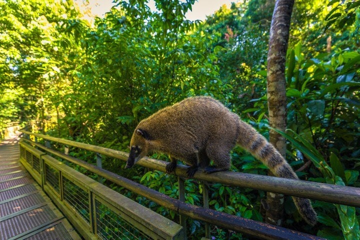 Coatí en la selva del Parque Nacional Iguazú
