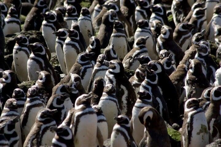 Colonia de pingüinos de Magallanes en Península Valdés