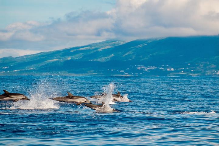 Grupo de delfines saliendo a respirar a la superfície en las aguas de la Isla San Jorge, Azores