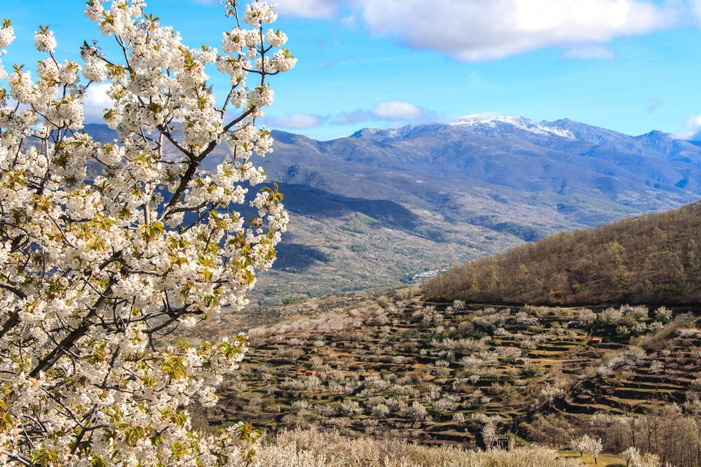 Cerezos Vale del Jerte Extremadura