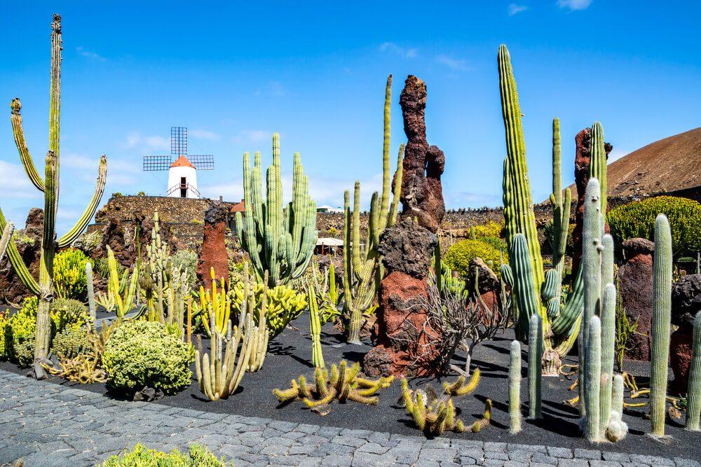 Jardín de Cactus con molino de millo al fondo en Lanzarote, Canarias