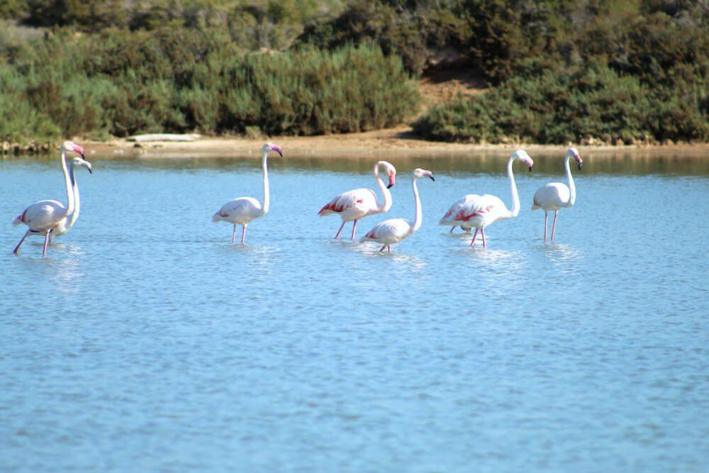 Flamencos en una de las lagunas del Parque Natural de Ses Salines en Ibiza, Islas Baleares